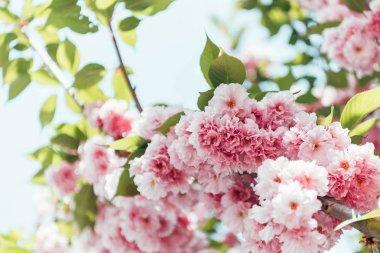 closeup shot of pink sakura bloom with leaves on branch