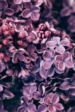 full frame image of purple lilac bloom background