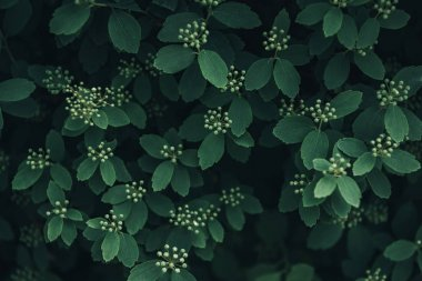 full frame image of green leaves with little white flowers background