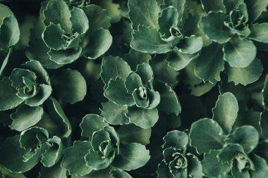 full frame image of succulents leaves background