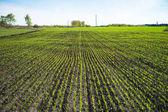 Campo con i germogli verdi
