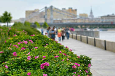 rose bushes on the embankment