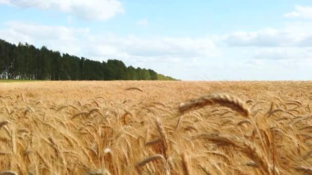 Pšeničné pole, pšeničné uši kymácející se od mírného větru.