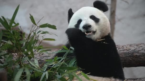 The young panda eats, the animal eats the green shoots of bamboo.