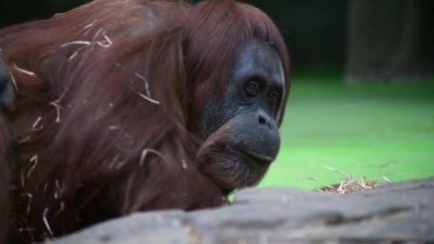 Női orángután majom, portré, közelről.