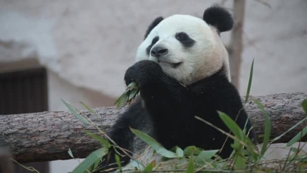 der junge Panda frisst, das Tier frisst die grünen Triebe des Bambus.
