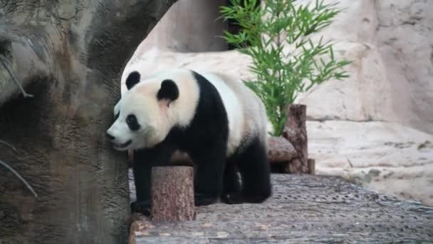 A happy panda walks and has fun.