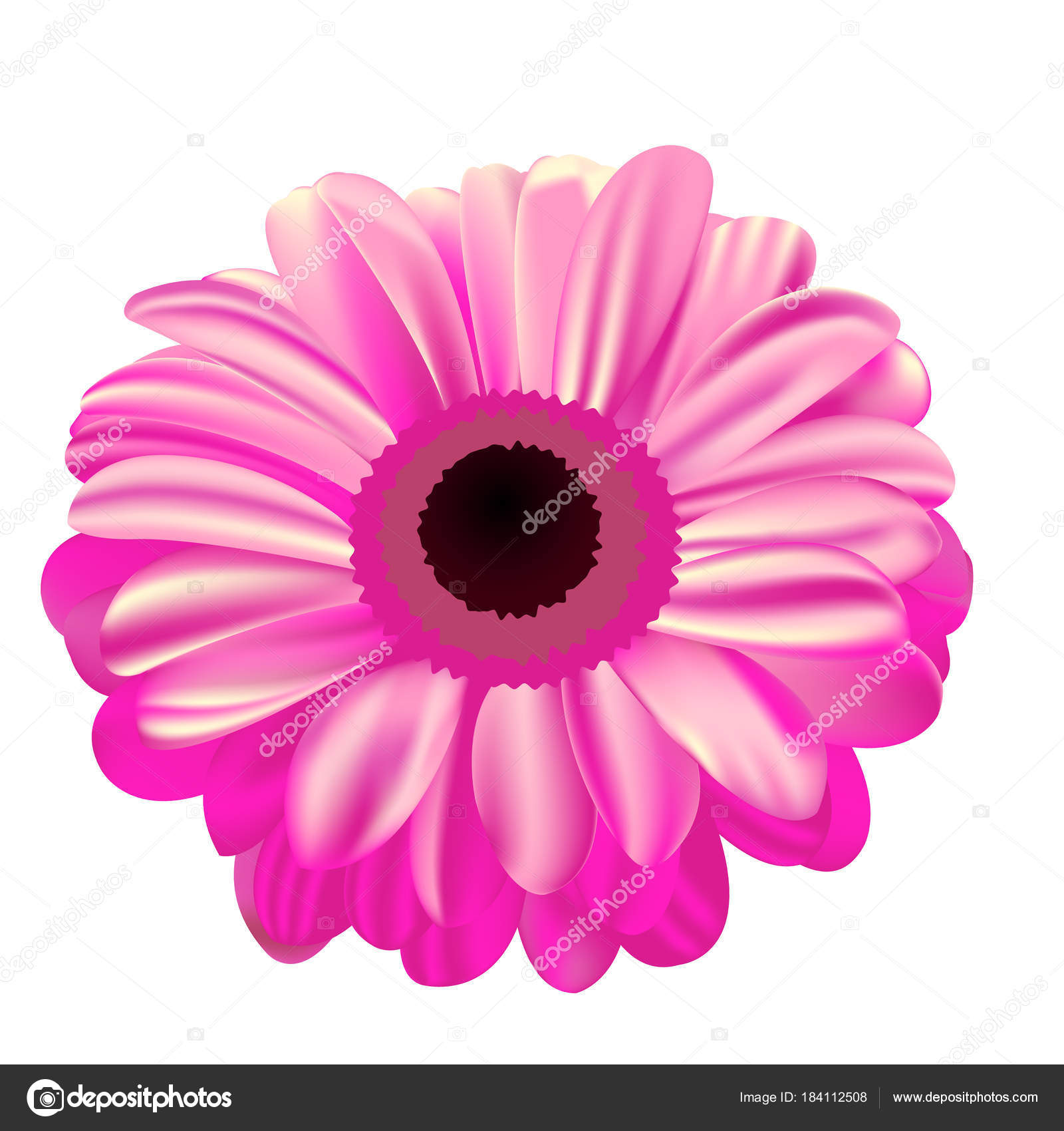 pink gerbera on white background, flower with gradient fill, mes ...