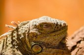 Photo Big lizard - green iguana sitting motionless in the Valera in th