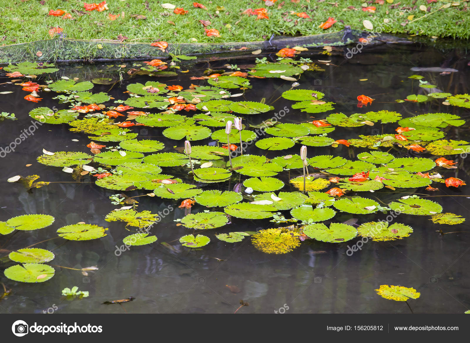Water Lily Flower In Pond Lotus Flower In Island Bali Indonesia