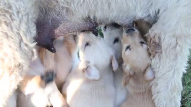 Štěňata kojení od matky