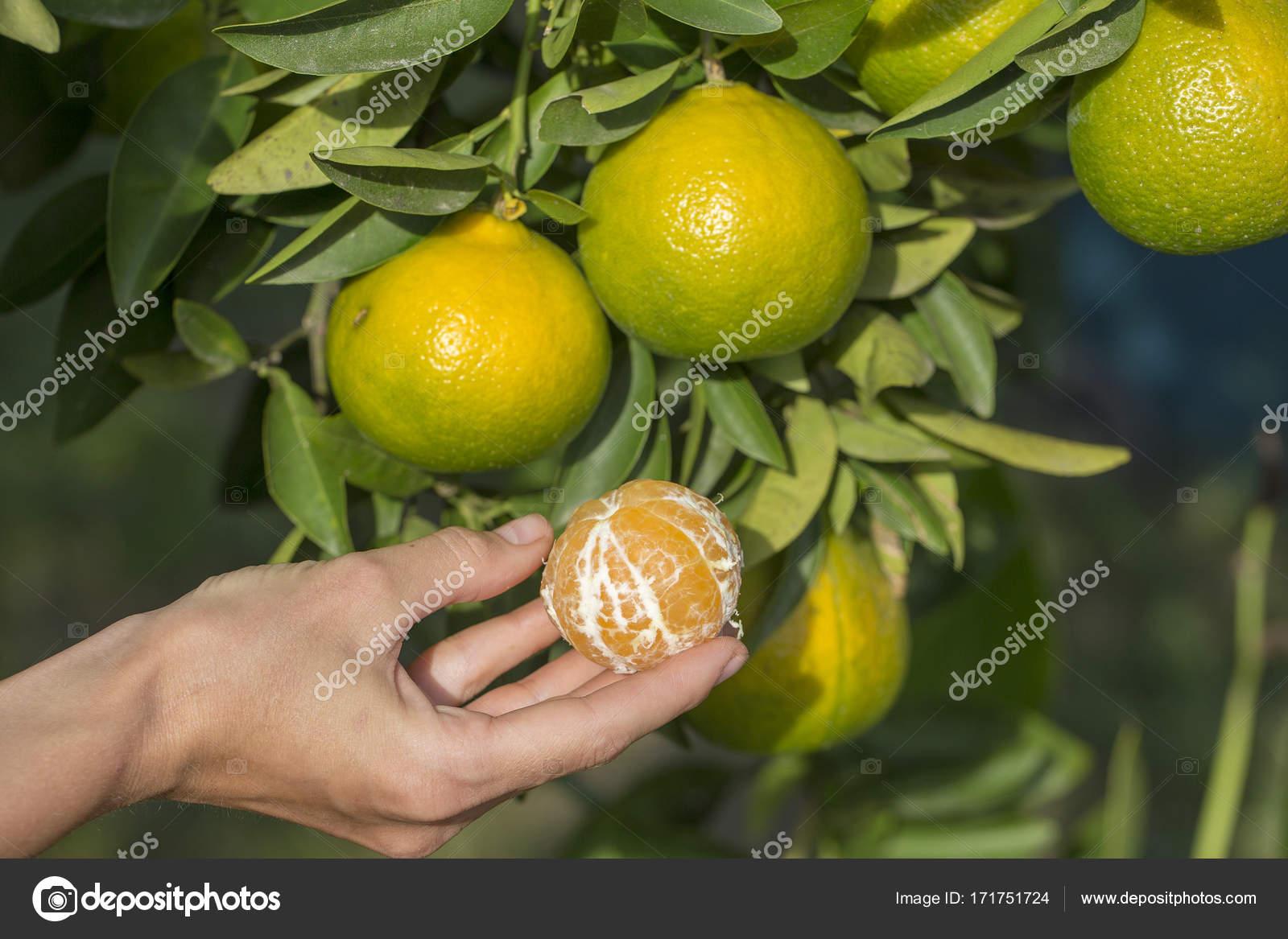 Chica mano sostiene una naranja pelada contra un fondo de hojas de ...