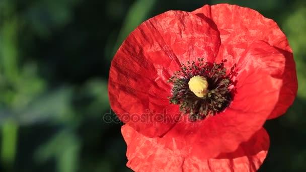 Květina z červeného máku v poli máků. Luční kvítí