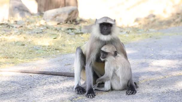 Vad langur majom család egy nemzeti park közelében Ajanta barlangok Indiában
