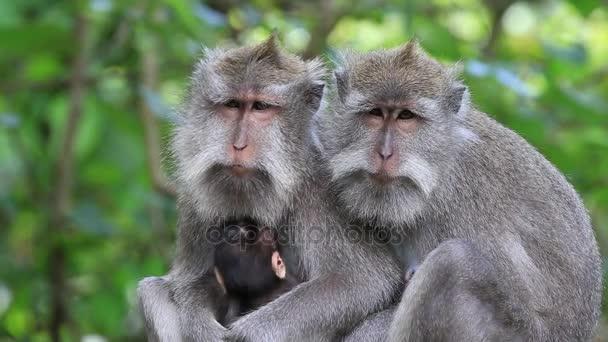 Sleeping monkey family at sacred monkey forest in Ubud, Bali, Indonesia.