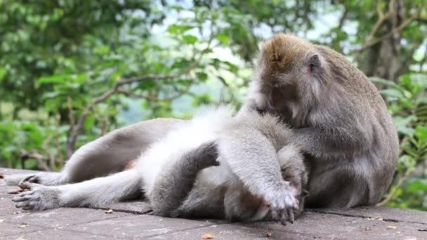 Majom család Szent monkey forest Ubud, Bali, Indonézia