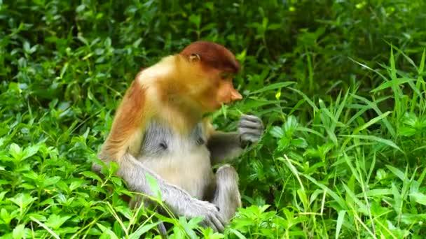 Wild Proboscis majom vagy Nasalis larvatus, az esőerdőben Borneo sziget, Malajzia, közelről