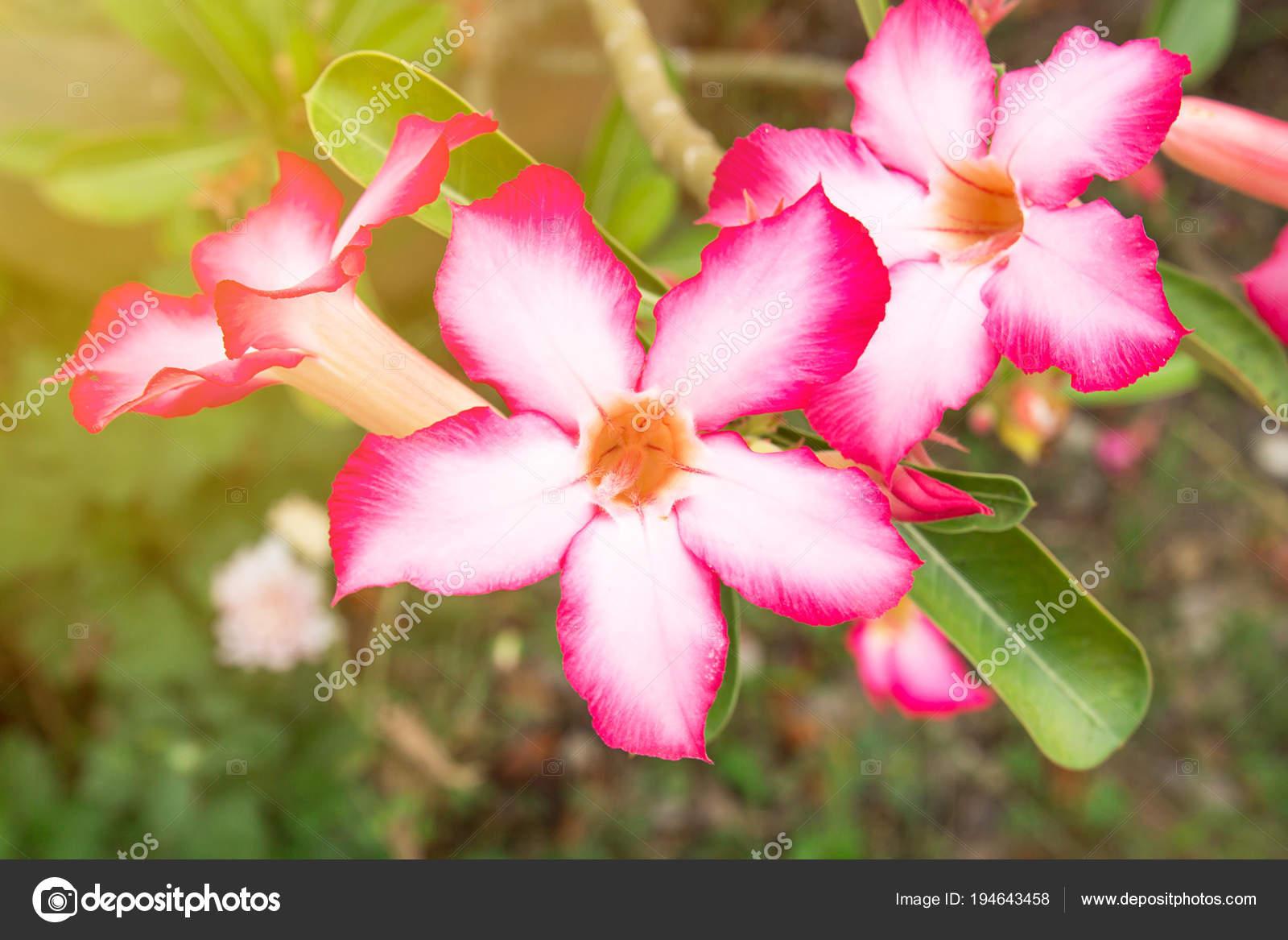 Impala Lily Ou Rose De Sable Ou Se Moquent Azalea Belle Fleur Rose
