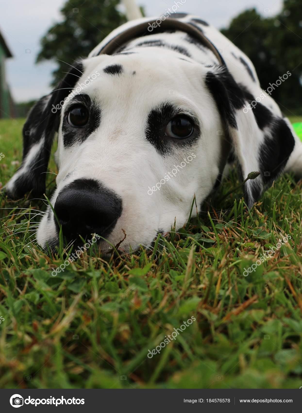 Ritratto Del Cucciolo Cane Dalmata Nel Giardino Foto Stock