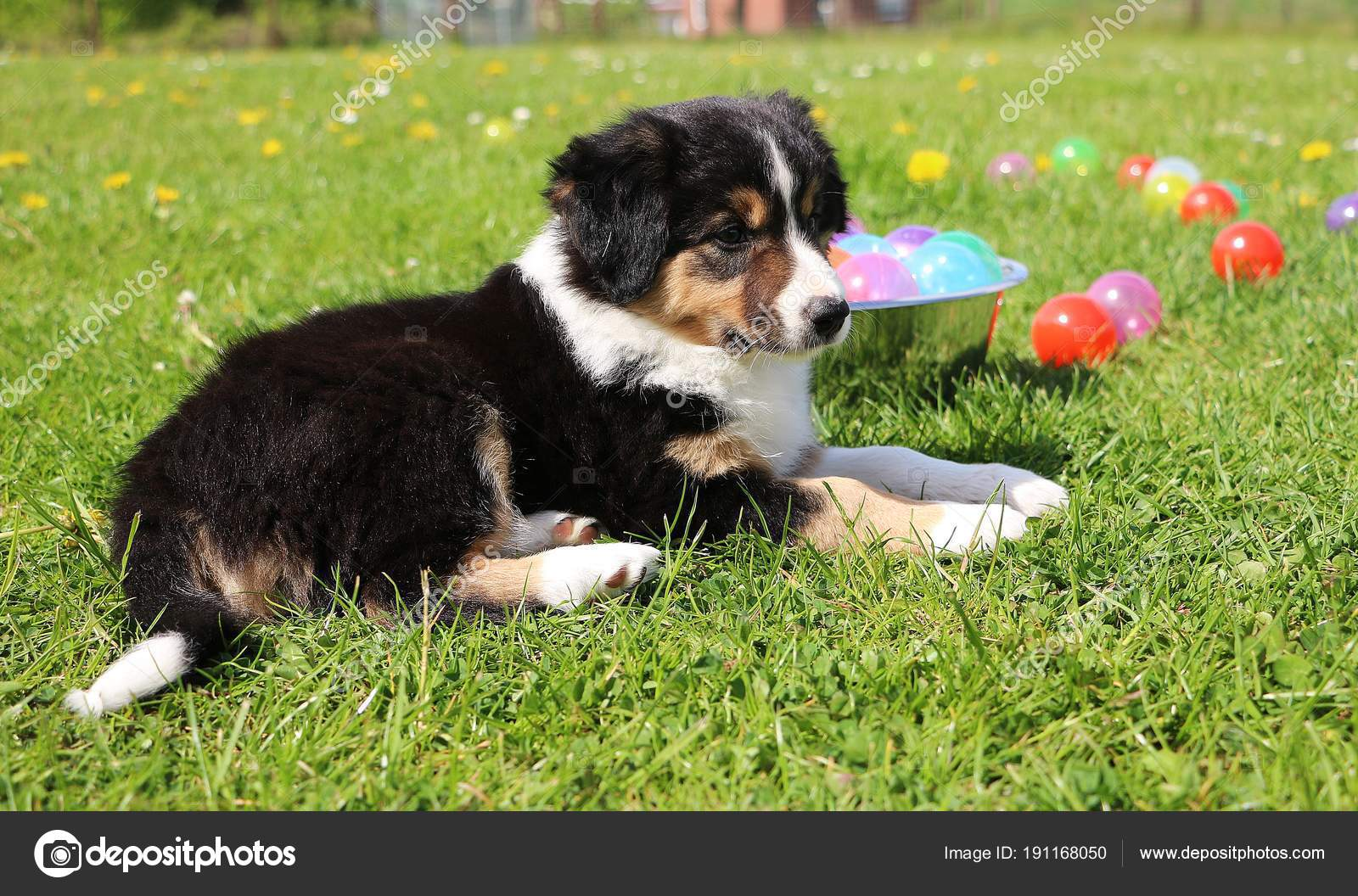 Beautiful Tricolored Border Collie Puppy Lying Garden Colorful Balls Stock Photo C Biancagrueneberg 191168050