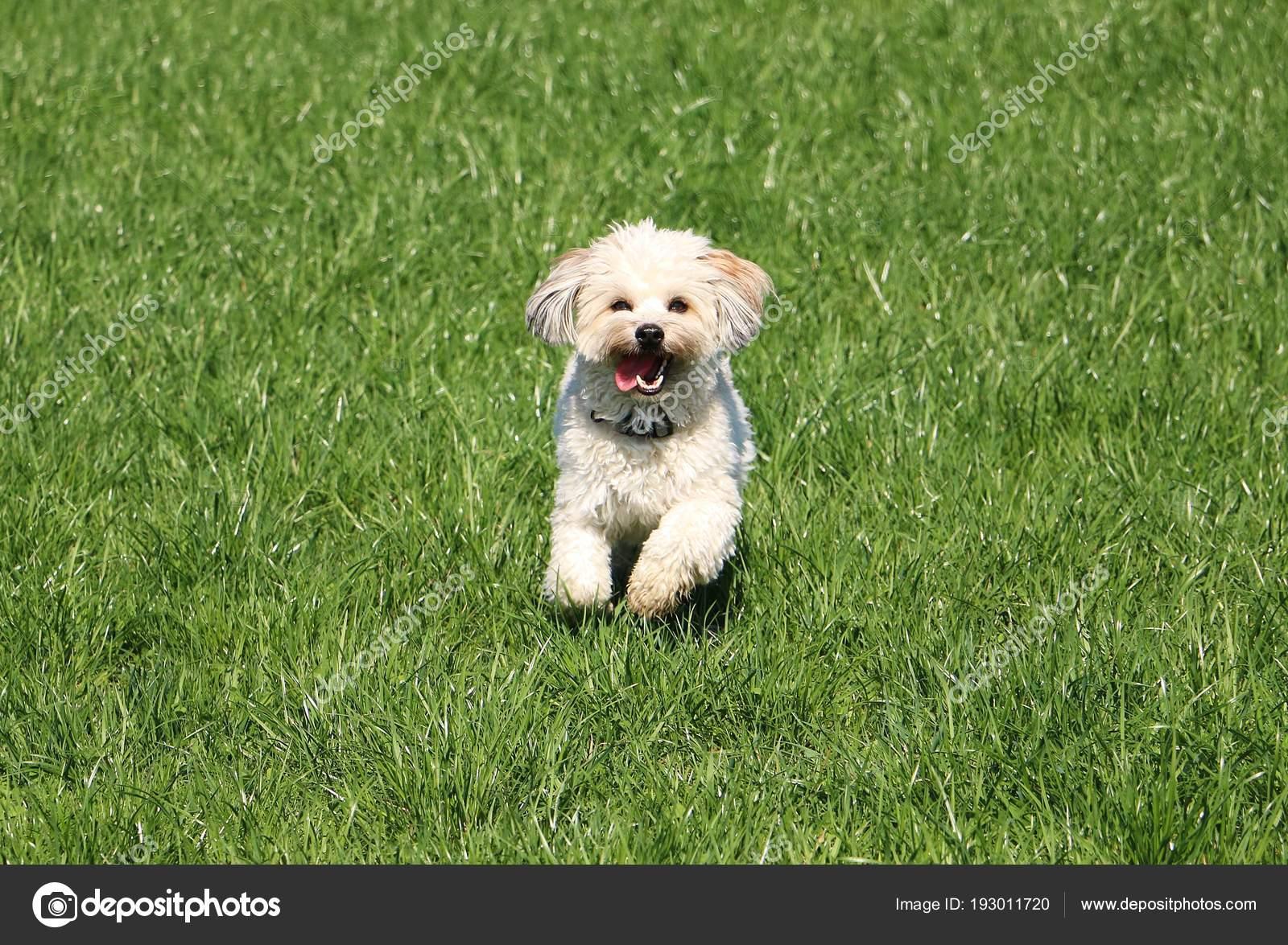 Kleine Havaneser Hund Läuft Garten Stockfoto Biancagrueneberg