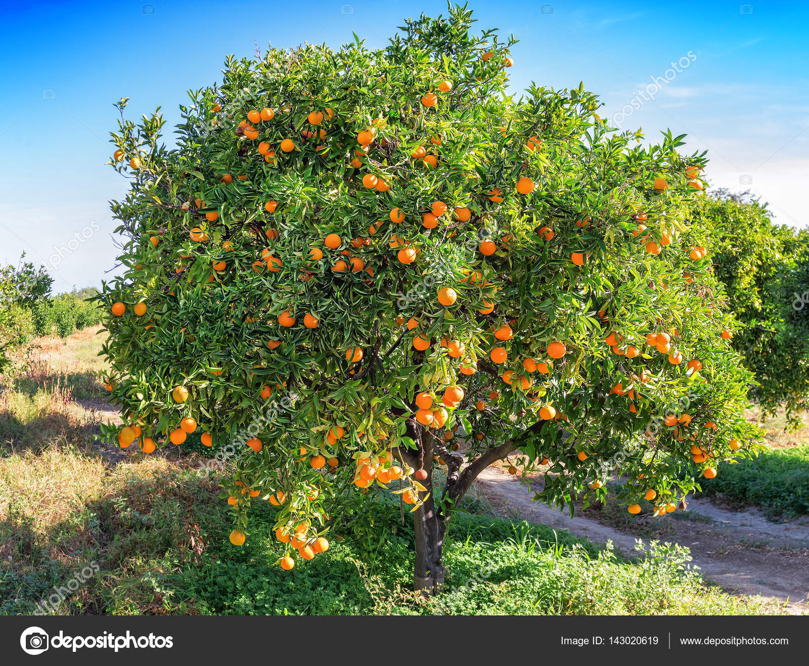 Lush Orange Tree Ripe Juicy Fruits Stock Photo