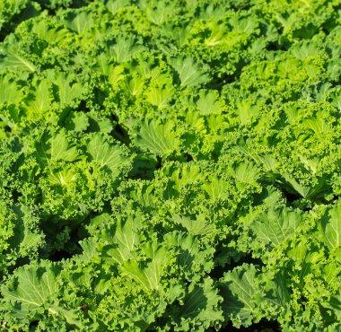 green lettuce Garden