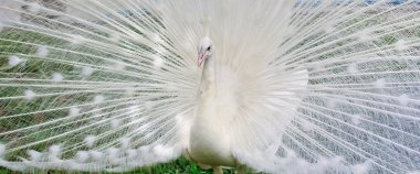 white beautiful Peacock