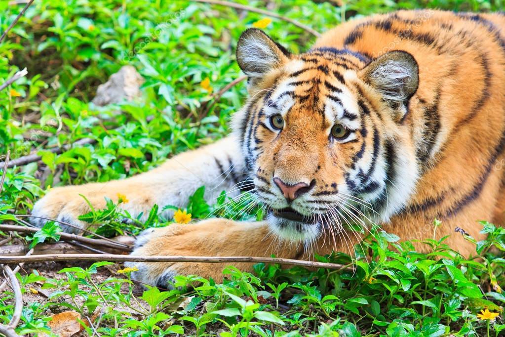 wild beautiful tiger