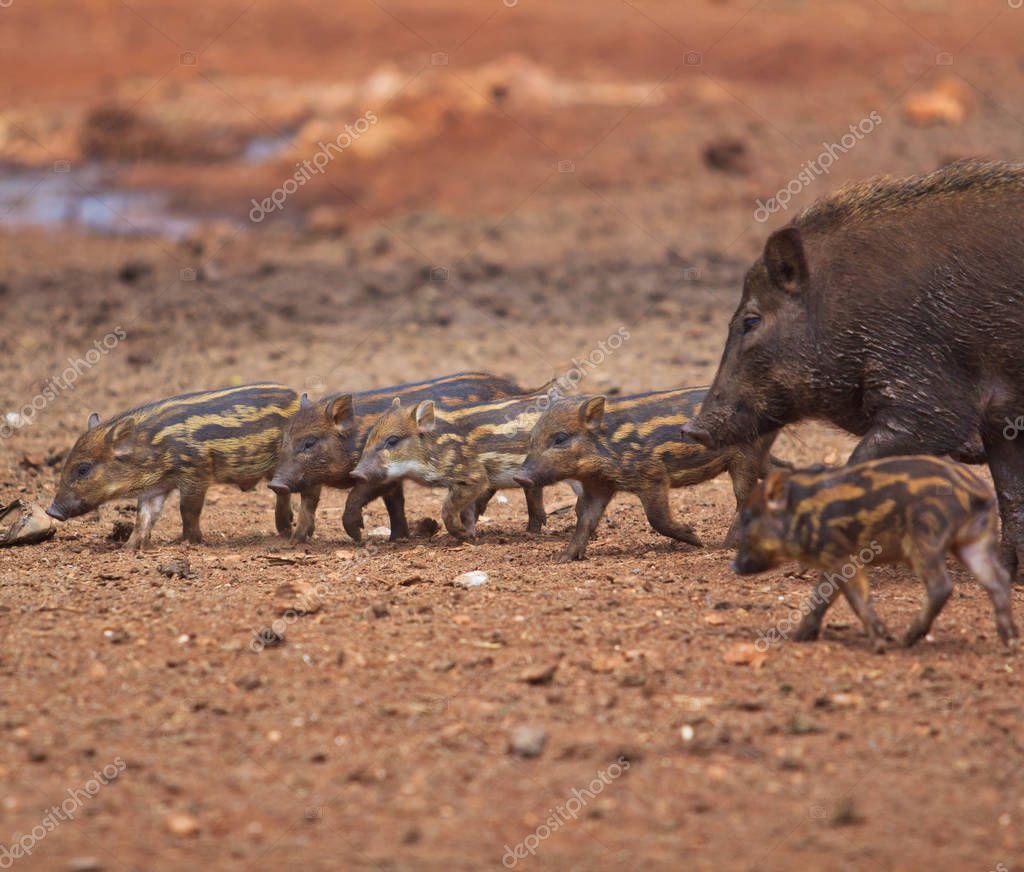 Wild boars family