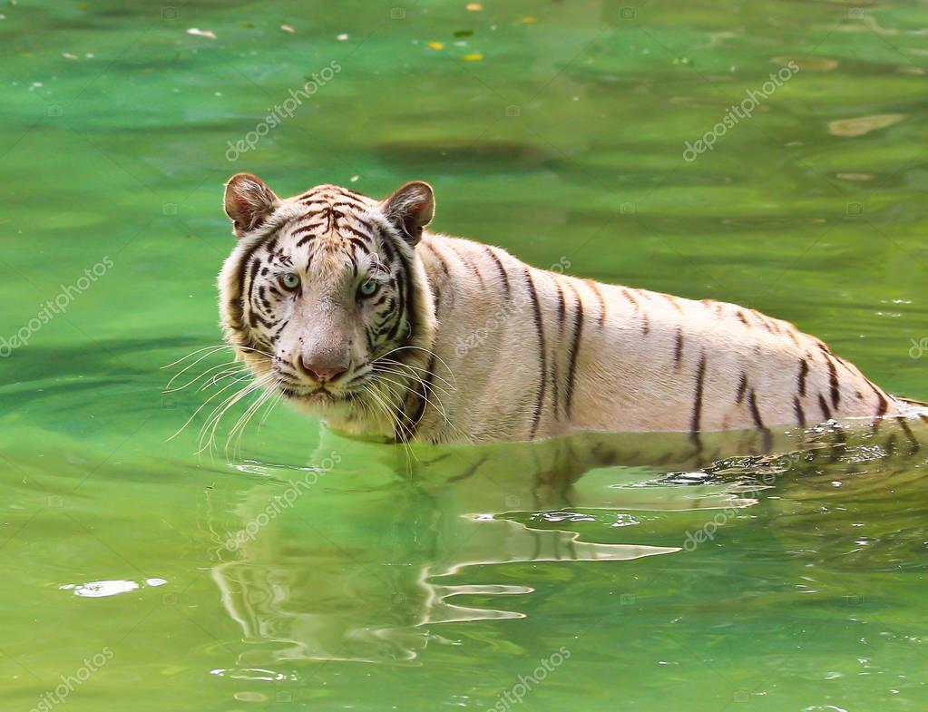 white tiger in Thai zoo