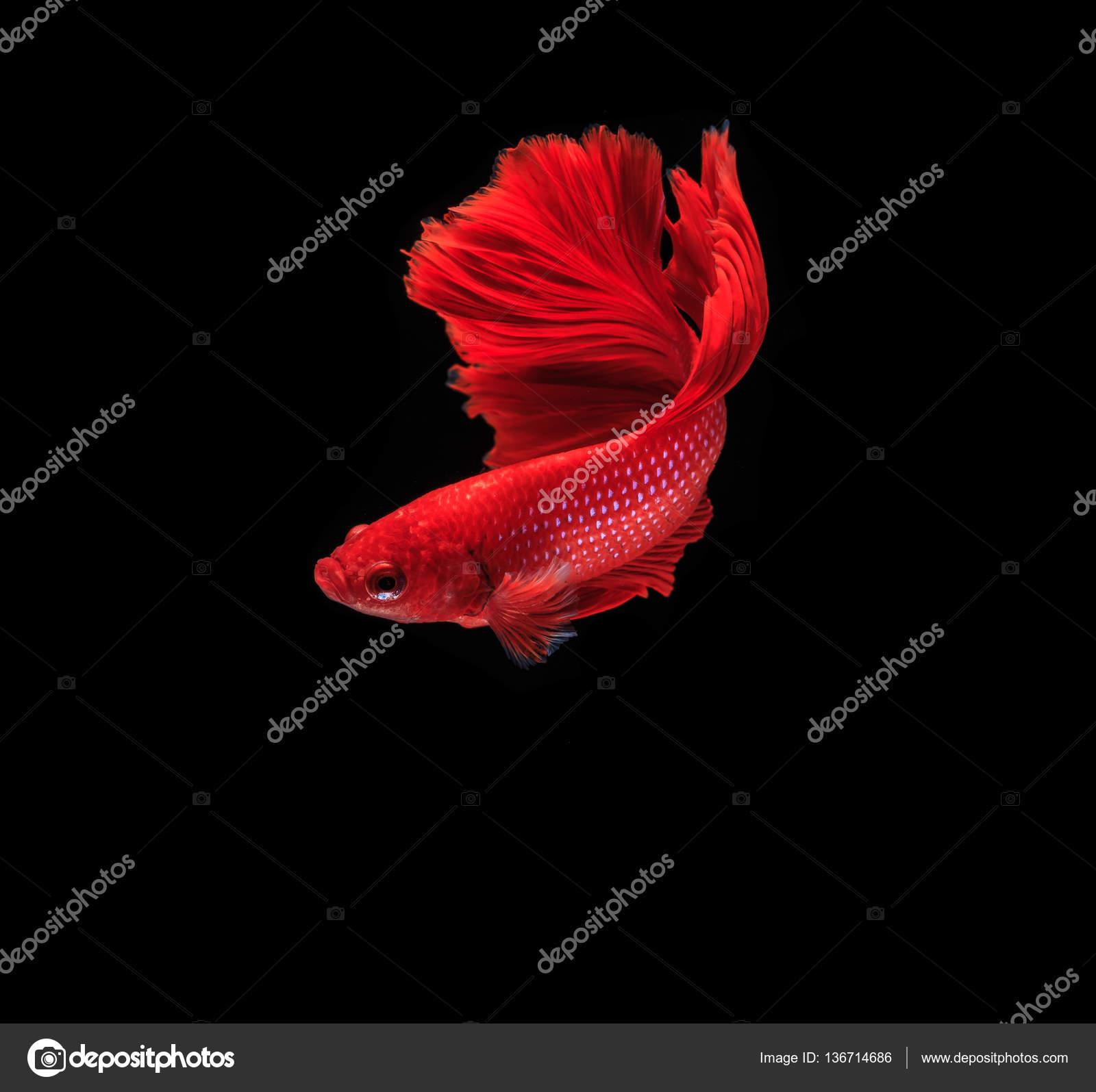 Colorful fighting fish — Stock Photo © Deerphoto #136714686