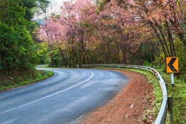 Blossom sakura on road
