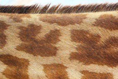 Giraffe texture pattern