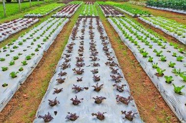Vegetable plots field