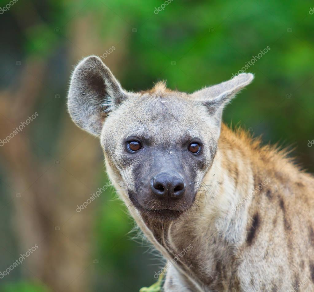 Hyena at wild nature