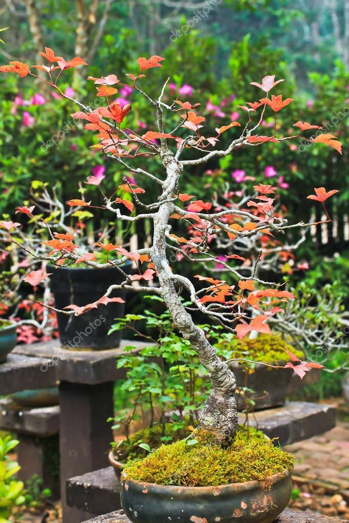 Bonsai tree maple
