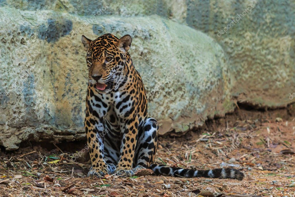 wild jaguar sitting