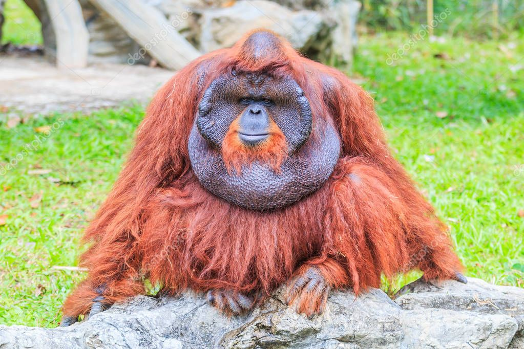 Brown long-haired orangutan