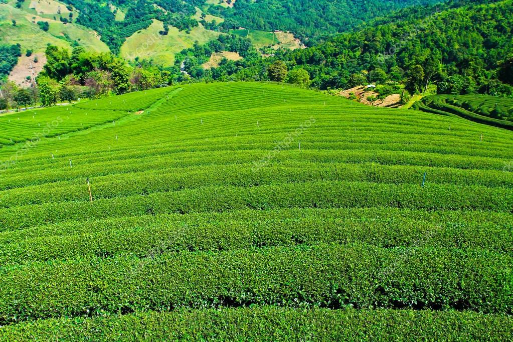 pattern of tea plantation