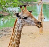 žirafa hlavou zblízka
