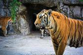 tigri aggressive in giardino zoologico