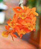 Fotografie Orange orchid flowers