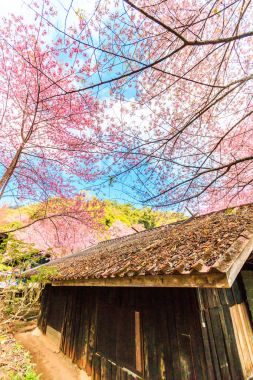 Sakura trees near old house