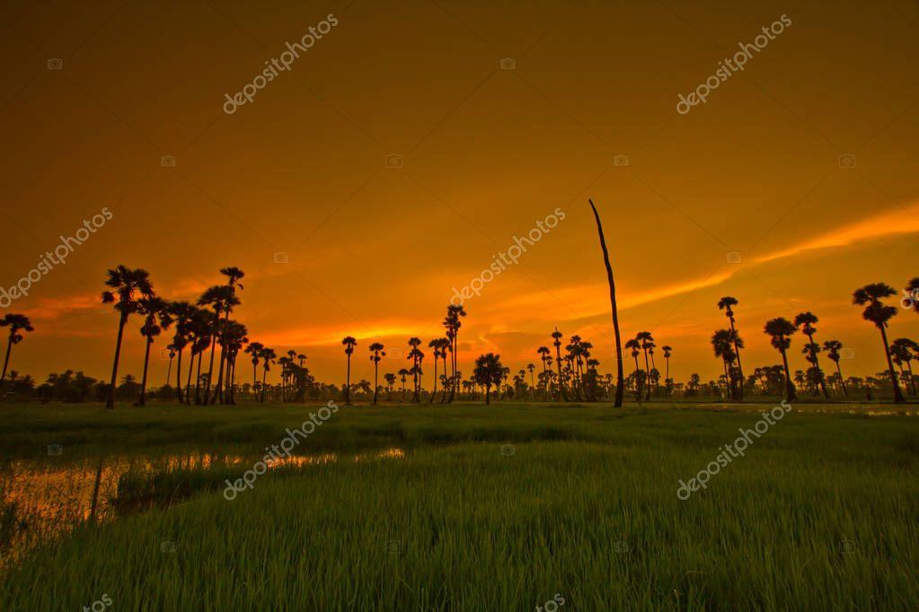 Beautiful  Paddy sunset