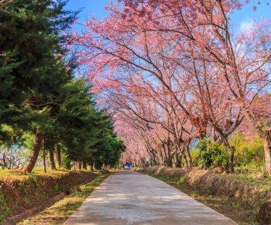 blossom of Sakura trees
