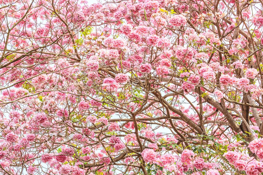 bright pink blossom of Tabebuia
