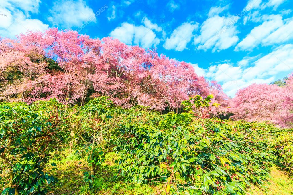 sakura blossoming in Thailand