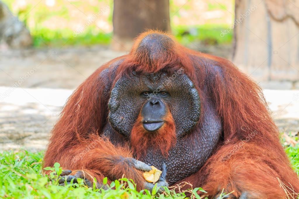 Big brown orangutan