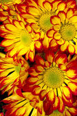 beautiful  red yellow chrysanthemum